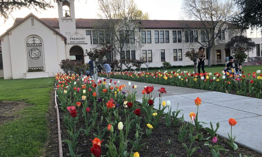 Tulips are in Full Bloom at Sunnyvale's Fremont High School